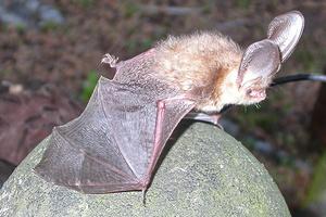 Streng geschützt: Fledermäuse (Foto: SSG, Brigitte Heinz)