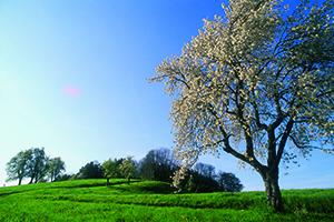 Ein blühender Obstbaum steht auf einer Streuobstwiese. Im Hintergrund sind weitere Obstbäume und ein kleines Waldstück zu sehen.